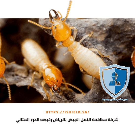 شركة مكافحة النمل الأبيض بالرياض رخيصة
