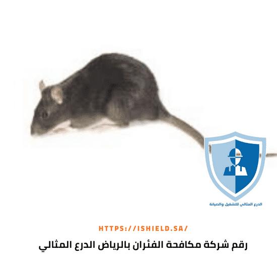 رقم شركة مكافحة الفئران بالرياض