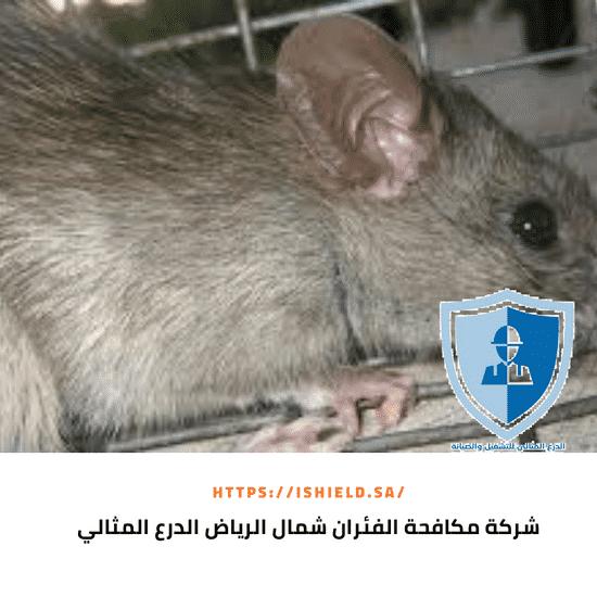 شركة مكافحة الفئران شمال الرياض