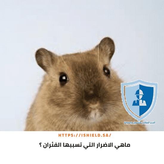 ما هي الأضرار التي تسببها الفئران